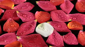 Zoom rose petals with dew drops sway in the wind. View from above stock video footage
