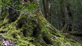 Zoom in shot of the base of a large pine tree covered in moss stock video