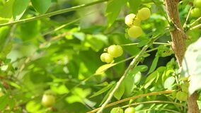 Zoom in Star Gooseberry is tropical fruit. Zoom in Star Gooseberry is tropical fruit, Sour fruit. Nature backgrounds stock video