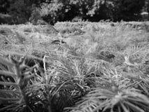 Zoom sulle piante conifere in bianco e nero Immagine Stock