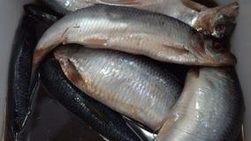 Zoom superiore del primo piano in considerazione del pesce salato dell'aringa pacifica video d archivio