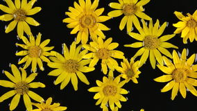 Zoom yellow camomile with dew drops in the water during rain. Beautiful background. stock footage