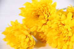 Zoom yellow flower white themes Royalty Free Stock Image
