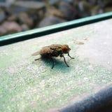 Zooma-i och närbildtillfångatagandet av en kinesisk fluga i parkerar arkivfoton