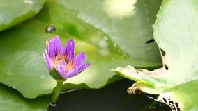 In zoomar honungbiflyget som in samlar pollen djupt av den blommande purpurfärgade näckrons som fångas på ett lotusblommadamm i T stock video