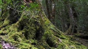 In zoomar skottet av grunden av ett stort sörjer trädet som täckas i mossa stock video