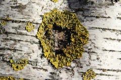 Zoomed birch tree stem. Royalty Free Stock Image