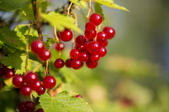Zoomed bunch of redcurrants hang on braches Stock Images