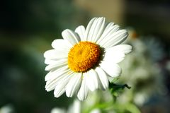 Zoomed foto of chamomile head petal leaves Stock Photo