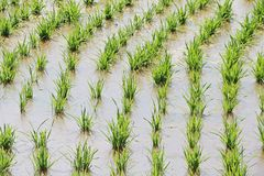 Zoomed to rice field. Full of water in green rice field at the beginning of crop season Stock Photos
