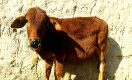 Zoon van koe stock fotografie