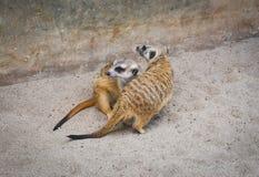 Zoos de Meir Cats image stock