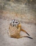 Zoos de Meir Cats images libres de droits