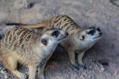 Zoos de Meir Cats dans le zoo photos libres de droits