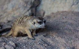 Zoos de Meir Cats dans le zoo photographie stock libre de droits