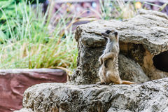 Zoos de Meir Cats dans les zoos, la Thaïlande photographie stock
