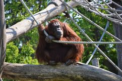 ZooSchönbrunn Wien orangutang Royaltyfri Foto