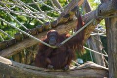 ZooSchönbrunn Wien orangutang Royaltyfria Foton