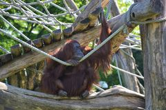 ZooSchönbrunn Wien orangutang Fotografering för Bildbyråer