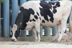 Zootastic krowa obraz royalty free