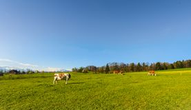 Zootecnia in Svizzera Fotografia Stock