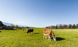 Zootecnia in Svizzera Fotografia Stock Libera da Diritti