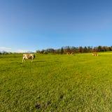 Zootecnia in Svizzera Fotografie Stock