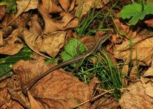 蜥蜴(Zootoca vivipara) 库存图片