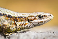 Zootoca vivipara. Portrait of a female viviparous lizard Zootoca vivipara sunbathing royalty free stock photos