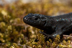 Zootoca vivipara, the rare black version Nigra Stock Photography