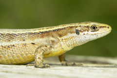 Zootoca vivipara / Viviparous Lizard Royalty Free Stock Photography