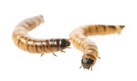 Zophobas atratus/ morio - meal worm Stock Photography