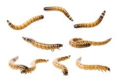 Zophobas atratus/ morio - meal worm Stock Photos