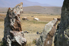 Zorats Karer with cows. Zorats Karer or Karahunj (Armenian Stonehenge) - Bronze Age astronomic observatory with cows Royalty Free Stock Images