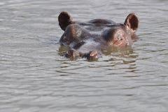 Zorgvuldige hippo Stock Foto