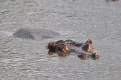 Zorgvuldige hippo Stock Foto's