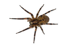 Zoropsis spider Royalty Free Stock Photo