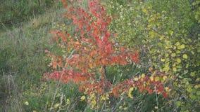 Zorra disparada da árvore amarela bonita do outono vídeos de arquivo