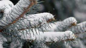Zorra disparada de ramos cobertos de neve do abeto vermelho filme