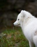 Zorro ártico imágenes de archivo libres de regalías