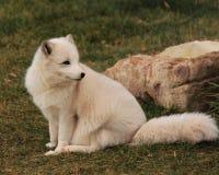 Zorro ártico blanco Imagenes de archivo