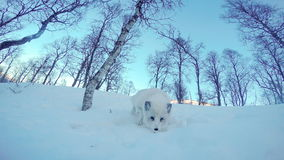 Zorro ártico lindo en alrededores del invierno almacen de metraje de vídeo