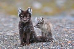 Zorro ártico y cachorro Fotos de archivo
