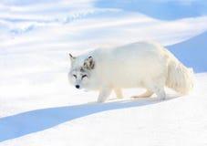 Zorro blanco durante invierno Imágenes de archivo libres de regalías