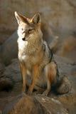 Zorro coloreado rojo del desierto con los oídos grandes Fotografía de archivo