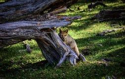 Zorro dans l'ushuaia de nature Photographie stock