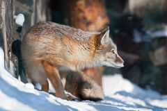 Zorro de ?orsac en la caza fotos de archivo libres de regalías