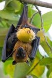 Zorro de vuelo Fotografía de archivo