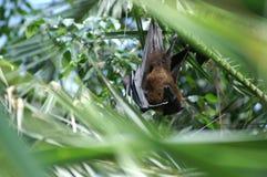 Zorro de vuelo 2 Fotografía de archivo
