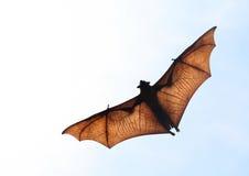 Zorro de vuelo Imagenes de archivo